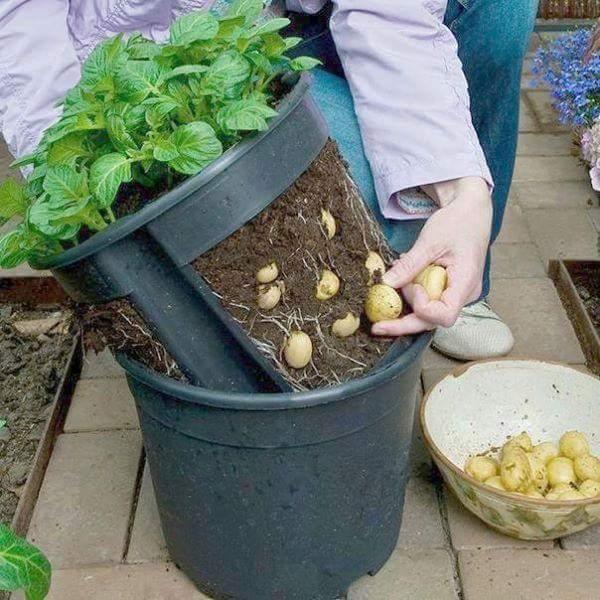 Como Plantar Batatas em Casa sem Uso de Agrodóxico